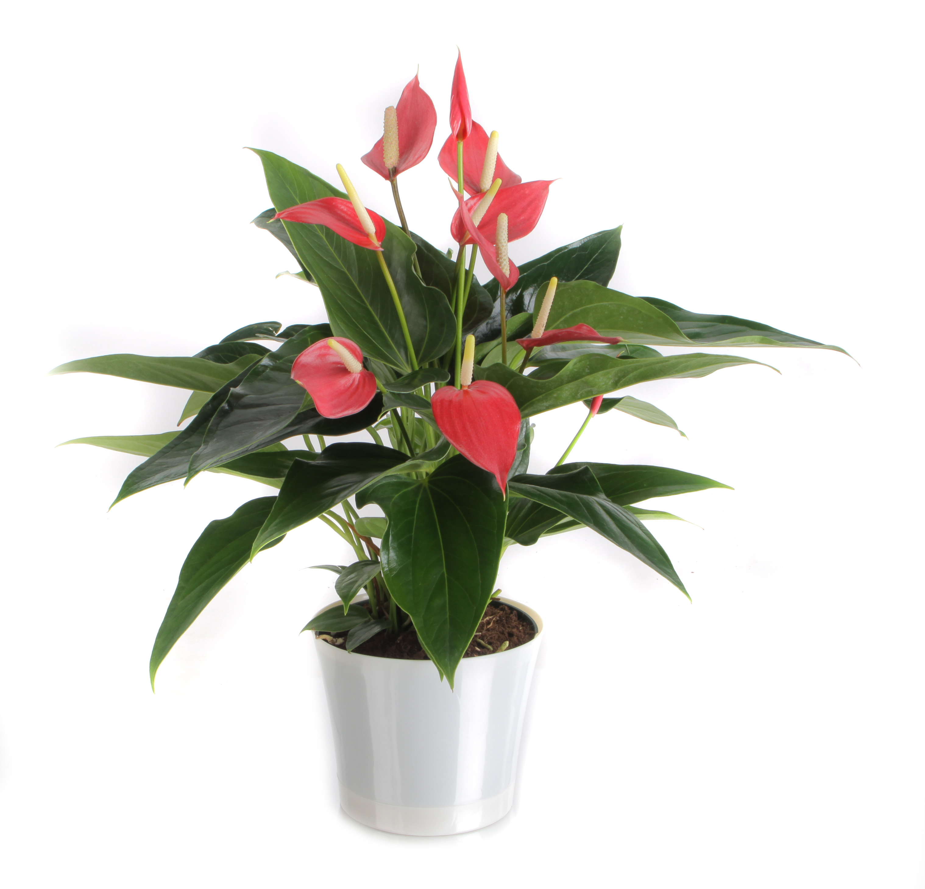 Anthurium Flower Pot