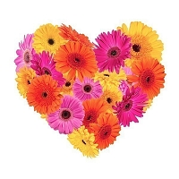 100 Gerberas in Heart